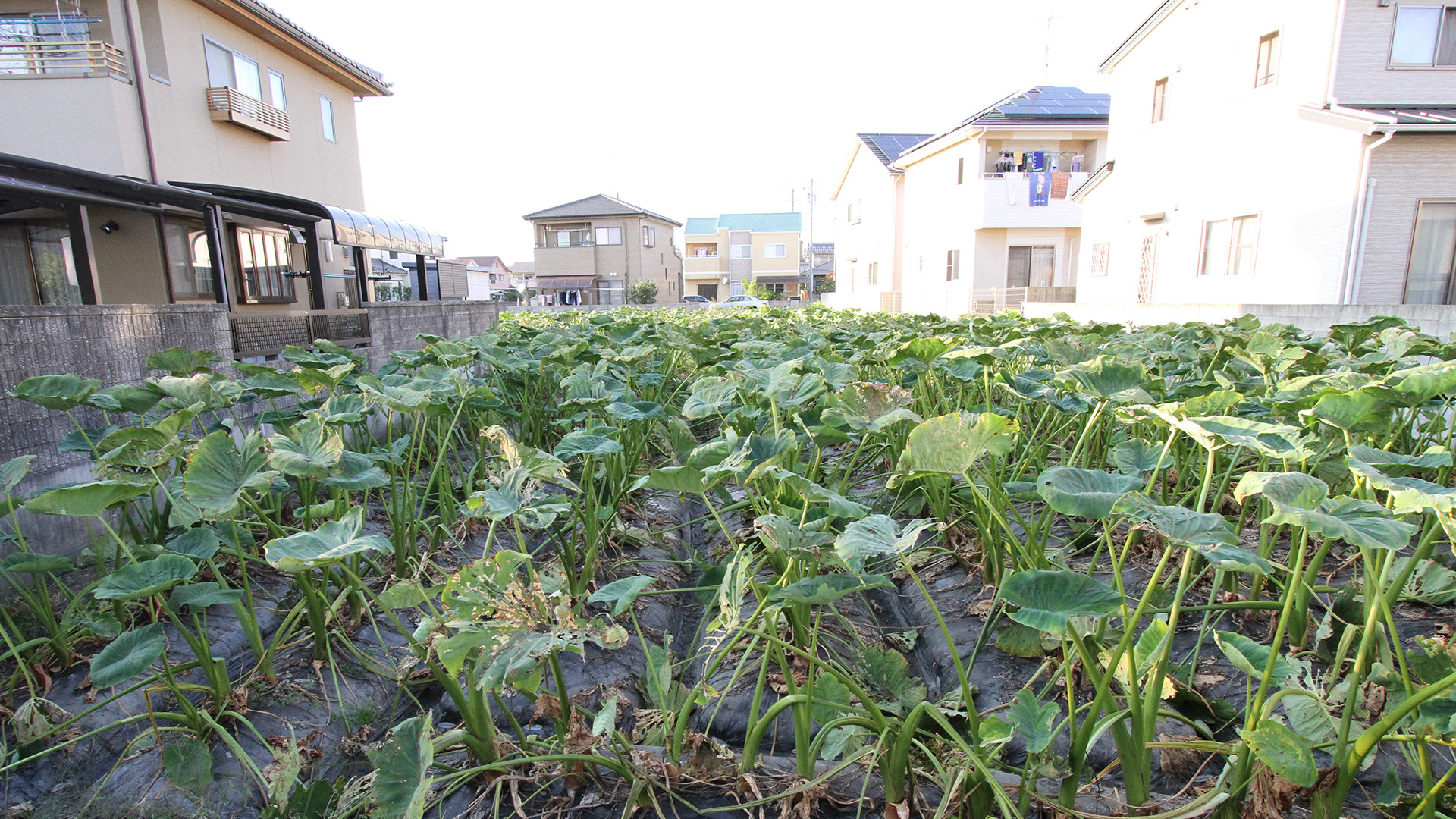 住宅に囲まれた畑