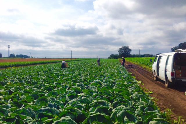 有機栽培のキャベツ
