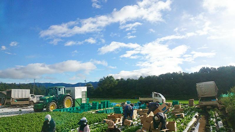 長野県川上村 葉物屋のレタス畑